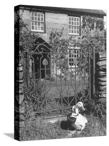Jemima Puddle-Duck Posing in Front of Iron Gate Outside Beatrix Potter's Home-George Rodger-Stretched Canvas Print
