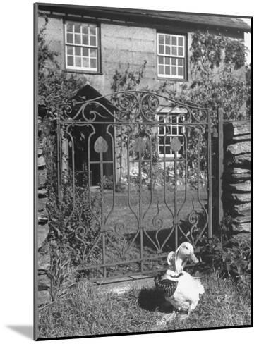Jemima Puddle-Duck Posing in Front of Iron Gate Outside Beatrix Potter's Home-George Rodger-Mounted Photographic Print