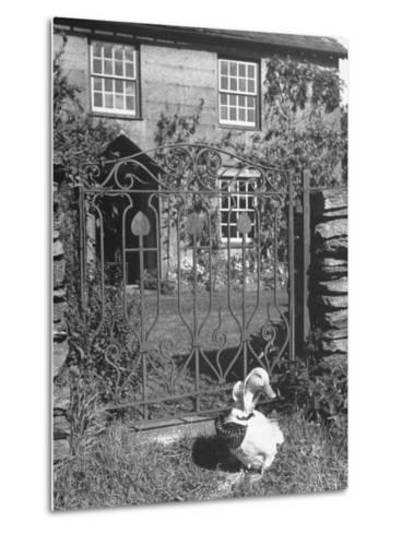 Jemima Puddle-Duck Posing in Front of Iron Gate Outside Beatrix Potter's Home-George Rodger-Metal Print