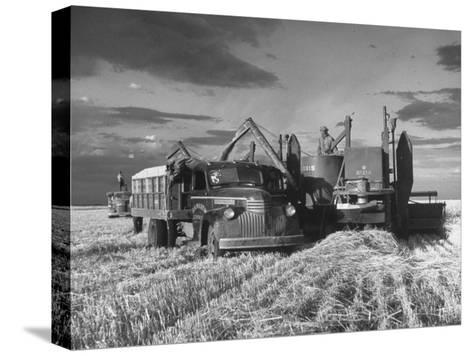 Combines and Crews Harvesting Wheat, Loading into Trucks to Transport to Storage-Joe Scherschel-Stretched Canvas Print