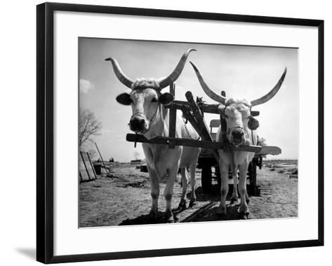 White Long-Horned Steers Teamed Up Like Oxen to Pull a Hay Wagon on the Anyala Farm-Margaret Bourke-White-Framed Art Print