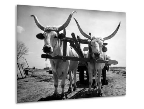 White Long-Horned Steers Teamed Up Like Oxen to Pull a Hay Wagon on the Anyala Farm-Margaret Bourke-White-Metal Print