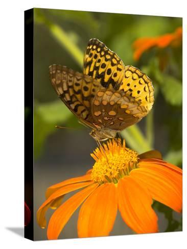 Skipper Butterfly Sipping Nectar from an Orange Flower, USA-Darlyne A^ Murawski-Stretched Canvas Print