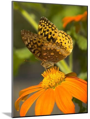 Skipper Butterfly Sipping Nectar from an Orange Flower, USA-Darlyne A^ Murawski-Mounted Photographic Print