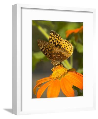 Skipper Butterfly Sipping Nectar from an Orange Flower, USA-Darlyne A^ Murawski-Framed Art Print