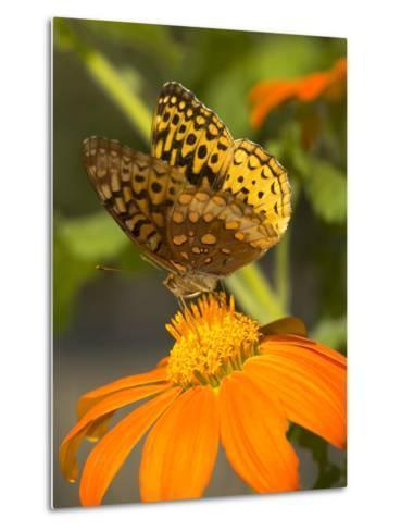 Skipper Butterfly Sipping Nectar from an Orange Flower, USA-Darlyne A^ Murawski-Metal Print