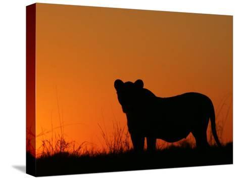 Silhouetted African Lioness, Panthera Leo, at Twilight, Okavango Delta, Botswana-Beverly Joubert-Stretched Canvas Print