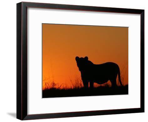 Silhouetted African Lioness, Panthera Leo, at Twilight, Okavango Delta, Botswana-Beverly Joubert-Framed Art Print