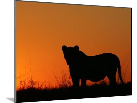 Silhouetted African Lioness, Panthera Leo, at Twilight, Okavango Delta, Botswana-Beverly Joubert-Mounted Photographic Print