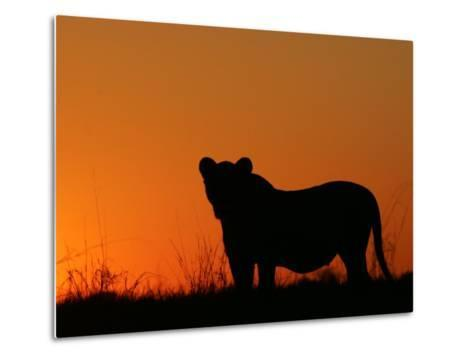 Silhouetted African Lioness, Panthera Leo, at Twilight, Okavango Delta, Botswana-Beverly Joubert-Metal Print