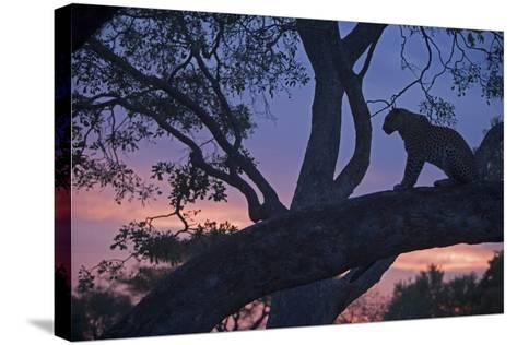 Leopard in a Tree Top Perch at Dusk, Mombo, Okavango Delta, Botswana-Beverly Joubert-Stretched Canvas Print