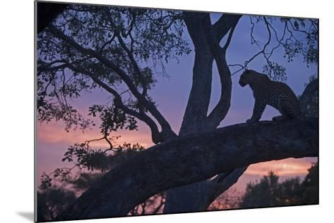 Leopard in a Tree Top Perch at Dusk, Mombo, Okavango Delta, Botswana-Beverly Joubert-Mounted Photographic Print