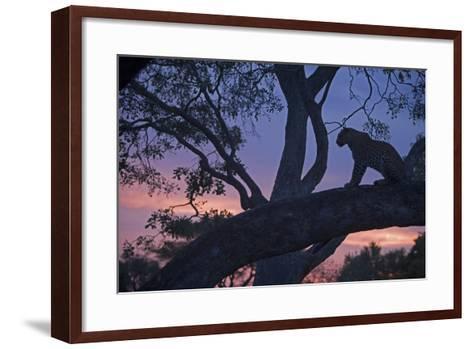 Leopard in a Tree Top Perch at Dusk, Mombo, Okavango Delta, Botswana-Beverly Joubert-Framed Art Print