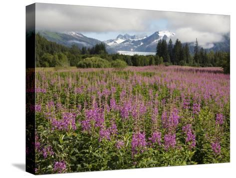 Meadow of Blooming Fireweed Frames Mendenhall Glacier, Juneau, Alaska-Melissa Farlow-Stretched Canvas Print