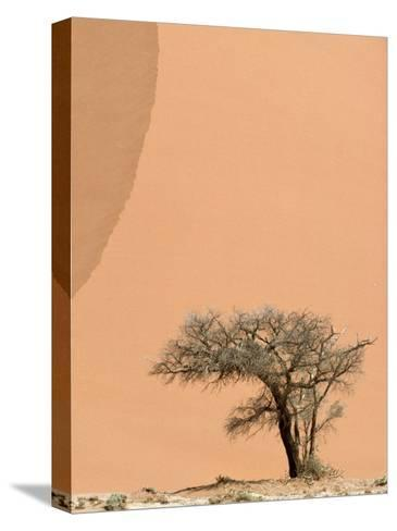Acacia Tree Dwarfed by an Immense Sand Dune at Sunset-Jason Edwards-Stretched Canvas Print