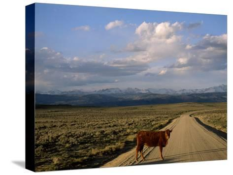 Steer on a Dirt Road, Pinedale, Wyoming-Joel Sartore-Stretched Canvas Print