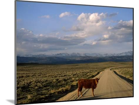 Steer on a Dirt Road, Pinedale, Wyoming-Joel Sartore-Mounted Photographic Print