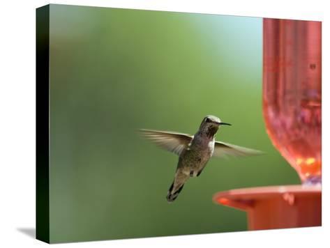 Anna's Hummingbird at a Feeder, Oak View, California-Rich Reid-Stretched Canvas Print