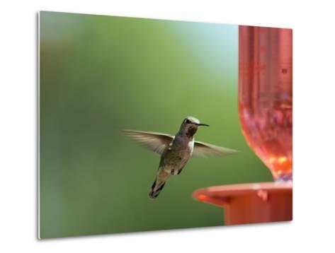 Anna's Hummingbird at a Feeder, Oak View, California-Rich Reid-Metal Print