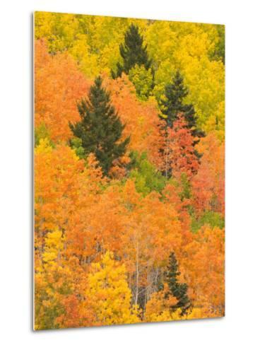 Leaves of a Forest Change Colors in Autumn, Santa Fe, New Mexico, USA-Ralph Lee Hopkins-Metal Print