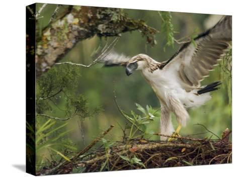 Eaglet Exercises its Wings in Preparation for a First Flight-Klaus Nigge-Stretched Canvas Print