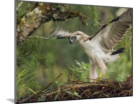 Eaglet Exercises its Wings in Preparation for a First Flight-Klaus Nigge-Mounted Photographic Print