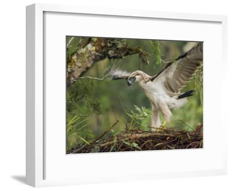 Eaglet Exercises its Wings in Preparation for a First Flight-Klaus Nigge-Framed Art Print