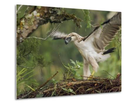 Eaglet Exercises its Wings in Preparation for a First Flight-Klaus Nigge-Metal Print