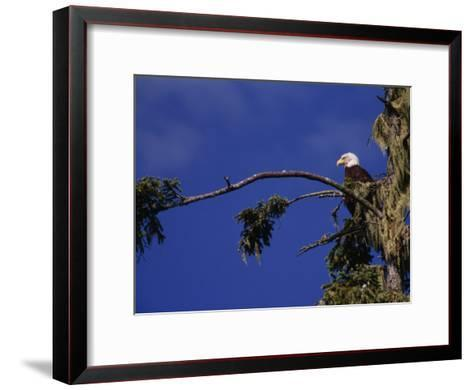 American Bald Eagle Perched in a Treetop, Vancouver Island, British Columbia, Canada-Paul Sutherland-Framed Art Print