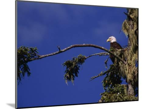 American Bald Eagle Perched in a Treetop, Vancouver Island, British Columbia, Canada-Paul Sutherland-Mounted Photographic Print
