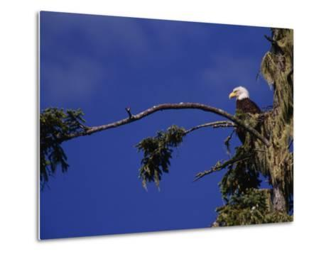American Bald Eagle Perched in a Treetop, Vancouver Island, British Columbia, Canada-Paul Sutherland-Metal Print