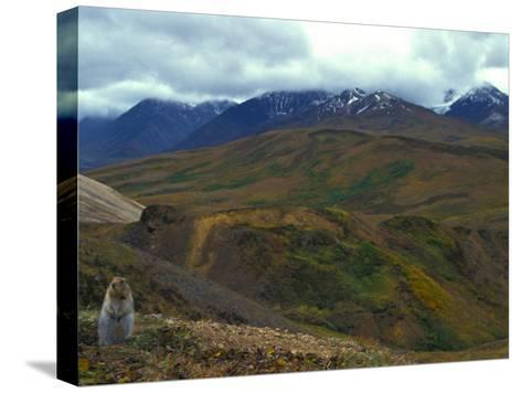 Arctic Ground Squirrel in Denali National Park, Alaska-Nick Norman-Stretched Canvas Print