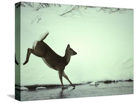 White Tail Deer Doe Runs in River, Island Park, Idaho-Michael S^ Quinton-Stretched Canvas Print