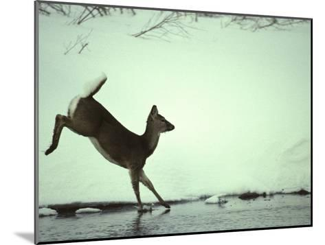 White Tail Deer Doe Runs in River, Island Park, Idaho-Michael S^ Quinton-Mounted Photographic Print