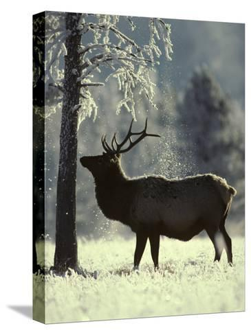 Frost Falls as a Young Elk Nudges the Dead Pine, Yellowstone National Park, Wyoming-Michael S^ Quinton-Stretched Canvas Print