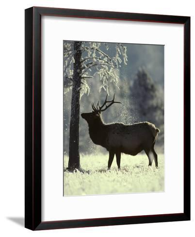 Frost Falls as a Young Elk Nudges the Dead Pine, Yellowstone National Park, Wyoming-Michael S^ Quinton-Framed Art Print