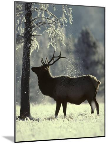 Frost Falls as a Young Elk Nudges the Dead Pine, Yellowstone National Park, Wyoming-Michael S^ Quinton-Mounted Photographic Print