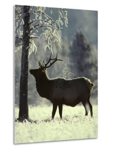 Frost Falls as a Young Elk Nudges the Dead Pine, Yellowstone National Park, Wyoming-Michael S^ Quinton-Metal Print