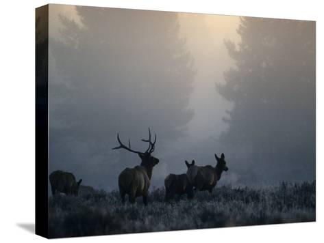 Cold Morning Mist and Rutting Elk Move Through the Sagebrush Meadow-Michael S^ Quinton-Stretched Canvas Print