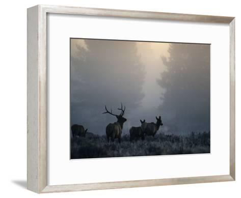 Cold Morning Mist and Rutting Elk Move Through the Sagebrush Meadow-Michael S^ Quinton-Framed Art Print