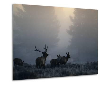 Cold Morning Mist and Rutting Elk Move Through the Sagebrush Meadow-Michael S^ Quinton-Metal Print