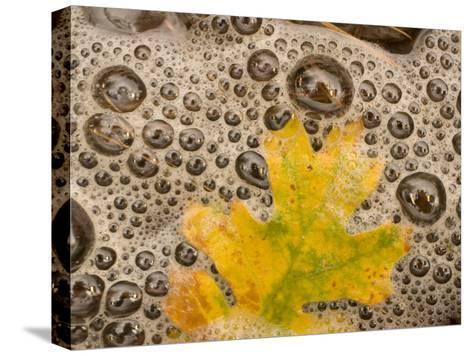 California Black Oak Leaf in a Stream in Autumn, Stanislaus National Forest Reserve, California-Phil Schermeister-Stretched Canvas Print
