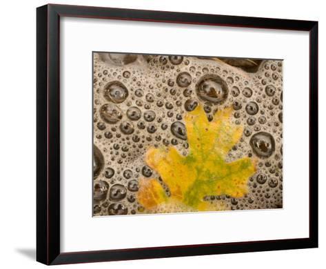 California Black Oak Leaf in a Stream in Autumn, Stanislaus National Forest Reserve, California-Phil Schermeister-Framed Art Print