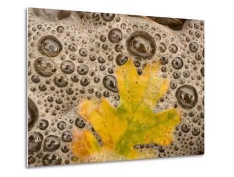 California Black Oak Leaf in a Stream in Autumn, Stanislaus National Forest Reserve, California-Phil Schermeister-Metal Print