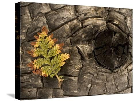 Fern on a Tree Trunk Blackened in a Forest Fire, Stanislaus National Forest Reserve, California-Phil Schermeister-Stretched Canvas Print