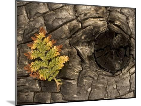 Fern on a Tree Trunk Blackened in a Forest Fire, Stanislaus National Forest Reserve, California-Phil Schermeister-Mounted Photographic Print