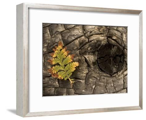 Fern on a Tree Trunk Blackened in a Forest Fire, Stanislaus National Forest Reserve, California-Phil Schermeister-Framed Art Print