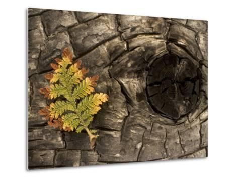 Fern on a Tree Trunk Blackened in a Forest Fire, Stanislaus National Forest Reserve, California-Phil Schermeister-Metal Print