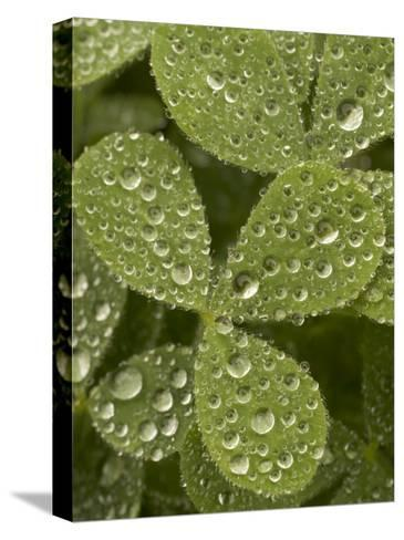 Tiny Dew Droplets on a Clover Plant in the Early Morning-Phil Schermeister-Stretched Canvas Print
