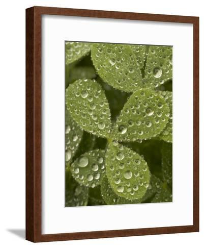 Tiny Dew Droplets on a Clover Plant in the Early Morning-Phil Schermeister-Framed Art Print
